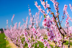 Lines of flowering almond trees against  blue  sky. Lines of flowering almond trees against blue sky, background Stock Photography