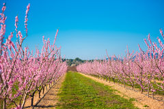 Lines of flowering almond trees against blue sky. Copy space for text. Royalty Free Stock Image
