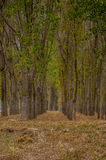 Lines in Forest. Straight view in a forest near Danube river royalty free stock image