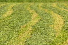 Lines of fresh mowed Hay. Royalty Free Stock Image
