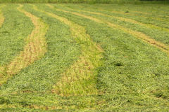Lines of fresh mowed Hay. Stock Images