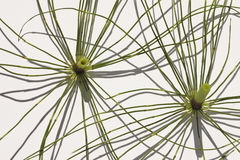 Lines and geometry. Sections of Horsetail plants like spokes of a wheel royalty free stock image