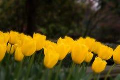 Fantacy tulips Stock Image