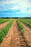 Lines of green vegetables in a farm Royalty Free Stock Image