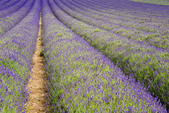 Lines in lavender field landscape Royalty Free Stock Photo
