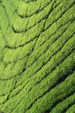 Lines and patterns in tea plantations. Contours of tea plants forming a pattern Royalty Free Stock Image