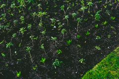 Lines of plant cultivation with small leaves coming out of the g Stock Image