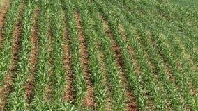Lines of plantation corn stock footage