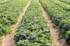 Lines of strawberry bushes Royalty Free Stock Photography