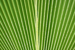 Lines and texture of green palm leaf Royalty Free Stock Image
