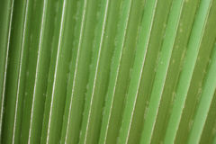 Lines and texture of green palm leaf Stock Image