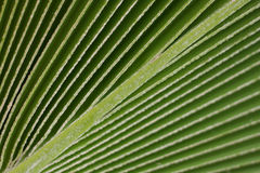 Lines and texture of green palm leaf Stock Images