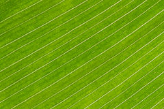 Lines and textures of green canna lily leaves Royalty Free Stock Image