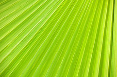 Lines and textures of Green Palm Royalty Free Stock Photography