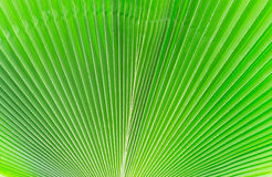 Lines and textures of Green Palm leaves Royalty Free Stock Photos