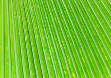Lines and textures of Green Palm leaves Royalty Free Stock Image