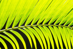 Lines and textures of Green Palm leaves. Close up palm leaves Royalty Free Stock Photos