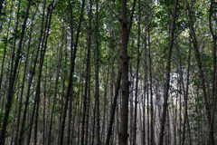 Lines of trees in the mangrove forest. Trunks and branches of trees in the mangrove forest Royalty Free Stock Photos