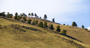 Lines of Trees on an Open Hillside Royalty Free Stock Images