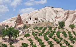 Lines of Trees, Red Rose Valley, Cappadocia Royalty Free Stock Image