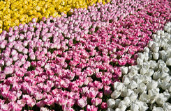 Lines of tulips Stock Photography