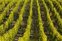 Lines of vines Stock Photography