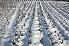 Lines of vines in the snow Stock Photo