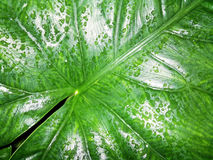 Lines and Water Drops on Caladium Leaf Stock Photo