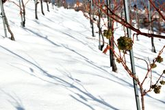 Lines of white grape vines in the snow Stock Images