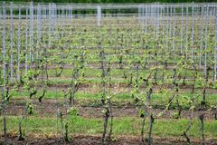 Well maintained vineyard in late springtime stock photos