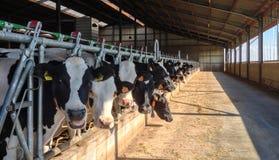 Lineup av kor i en mejerilantgård royaltyfri fotografi