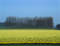 Lineup of trees and a field of flowering daffodils Stock Image