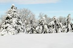 Snow Covered Trees in a lineup Stock Photo