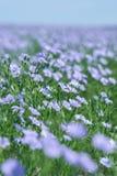 Linfält som blommar, jordbruks- odling för lin Arkivbilder