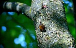 Linfa colante dell'albero Fotografia Stock