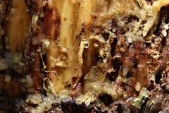 Linfa del pino di Ponderosa nel lago canyon di legni, la contea di Coconino, Arizona, Stati Uniti fotografia stock libera da diritti