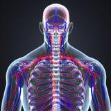 Linfonodi delle arterie, delle vene e con la vista di scheletro umana del posteriore del corpo illustrazione di stock