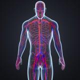 Linfonodi delle arterie, delle vene e nella vista anteriore del corpo umano royalty illustrazione gratis
