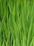 Lingüetas da grama foto de stock
