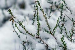 Ling bedeckte im Schnee Stockbilder