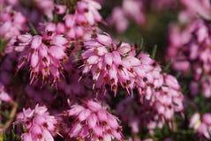 Ling, Calluna vulgaris. Flowers of the gardens Stock Image