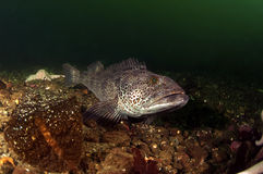 Ling Cod Stock Images