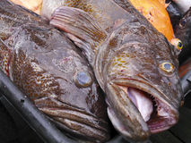 Ling-cod Royalty Free Stock Photography