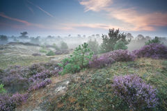 Ling flowers on hills in misty morning Royalty Free Stock Photography