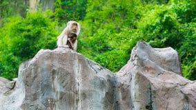 Ling que senta-se no penhasco, macacos Foto de Stock Royalty Free