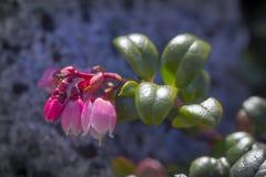 Lingberry Στοκ φωτογραφίες με δικαίωμα ελεύθερης χρήσης