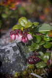 Lingberry Photo stock