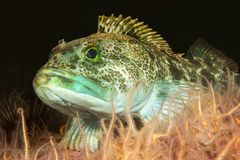 Lingcod in Channel Islands Park royalty free stock photography