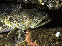 Lingcod Royalty Free Stock Photography