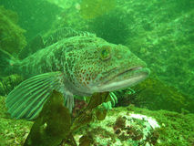 Lingcod (Ophiodon elongatus) Royalty Free Stock Photos